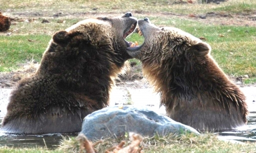 Grizzly Bear Discovery Center In West Yellowstone Alltrips