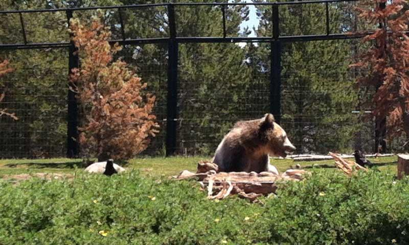 Bears feeding at the Grizzly and Wolf Discovery Center in West Yellowstone