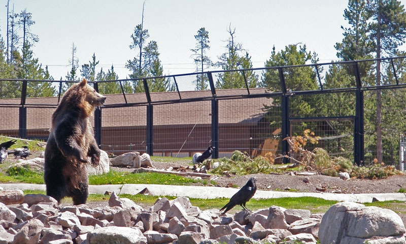 A Grizzly Bear standing tall at the Grizzly and Wolf Discovery Center in West Yellowstone